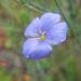 Zurück zum kompletten Bilderset Karpaten Lein Blüte blau Linum extraaxillare