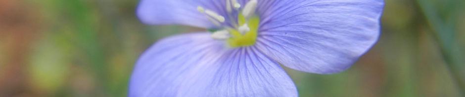 Anklicken um das ganze Bild zu sehen Karpaten Lein Blüte blau Linum extraaxillare