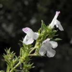 Karst Bergminze Bluete weiss pink Satureja montana 05