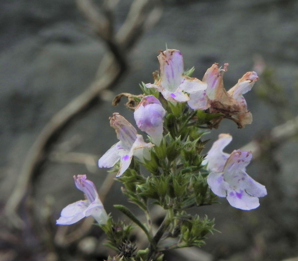 Karst Bergminze Bluete weiss pink Satureja montana