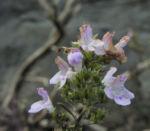 Karst Bergminze Bluete weiss pink Satureja montana 07