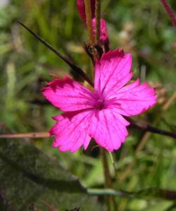 Kartaeusernelke Bluete pink Dianthus carthusianorum 01