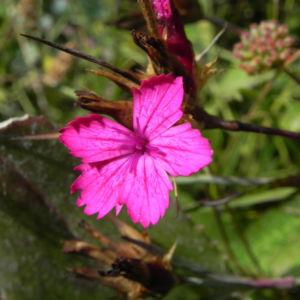 Kartaeusernelke Bluete pink Dianthus carthusianorum 02