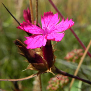Kartaeusernelke Bluete pink Dianthus carthusianorum 03