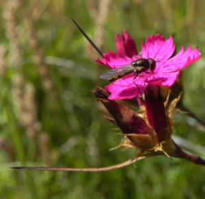 Kartaeusernelke Bluete pink Dianthus carthusianorum 04