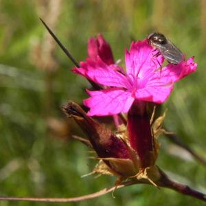 Kartaeusernelke Bluete pink Dianthus carthusianorum 05