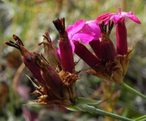 Kartaeusernelke Bluete pink Dianthus carthusianorum 09