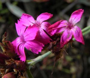 Kartaeusernelke Bluete pink Dianthus carthusianorum 11
