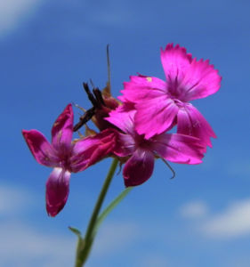 Kartaeusernelke Bluete pink Dianthus carthusianorum 14
