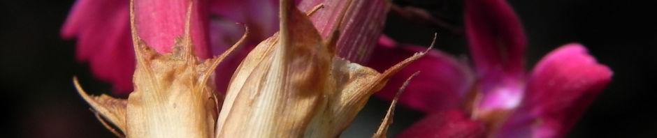 kartaeusernelke-bluete-pink-dianthus-carthusianorum