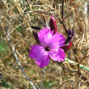 Karthaeuser Nelke Bluete pink Dianthus carthusianorum 01