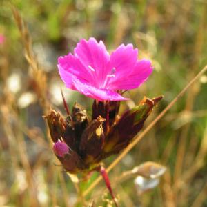 Karthaeuser Nelke Bluete pink Dianthus carthusianorum 03
