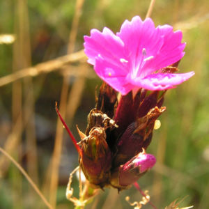 Karthaeuser Nelke Bluete pink Dianthus carthusianorum 07
