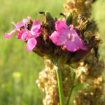 Karthaeuser Nelke Bluete pink Dianthus carthusianorum 08