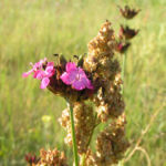 Karthaeuser Nelke Bluete pink Dianthus carthusianorum 09