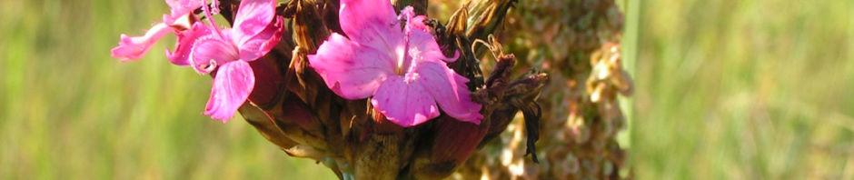Anklicken um das ganze Bild zu sehen Kartäusernelke Blüte pink Dianthus carthusianorum