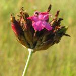 Karthaeuser Nelke Bluete pink Dianthus carthusianorum 10