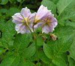Kartoffel Bluete rosa Frucht gruen Solanum tuberosum 01