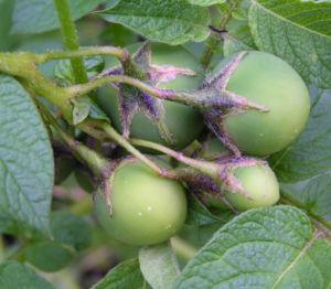 Kartoffel Bluete rosa Frucht gruen Solanum tuberosum 05