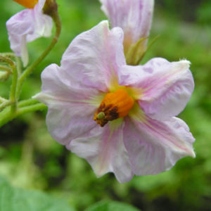 Bild: Kartoffel Bluete rosa Frucht gruen Solanum tuberosum