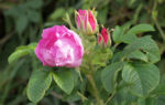 Kartoffel Rose Bluete rosa Rosa rugosa 01