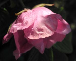 Kartoffel Rose Bluete rosa rosa rugosa 02