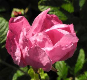 Kartoffel Rose Bluete rosa rosa rugosa 03