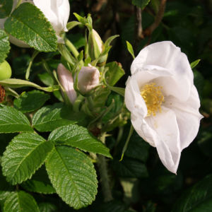 Bild: Kartoffel Rose Bluete rosa Rosa rugosa
