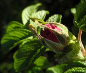 Kartoffel Rose Bluete rosa rosa rugosa 07