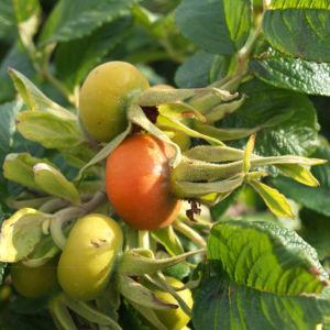 Kartoffel Rose Bluete rosa Rosa rugosa 09