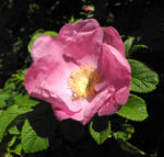 Kartoffel Rose Bluete rosa rosa rugosa 10