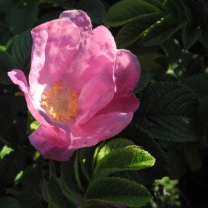 Kartoffel Rose Bluete rosa rosa rugosa 11