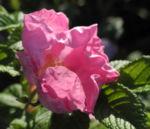 Kartoffel Rose Bluete rosa rosa rugosa 12