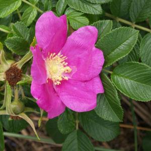 Kartoffel Rose Bluete rosa Rosa rugosa 14
