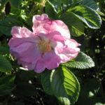 Bild: Kartoffel-Rose Blüte Rosa rugosa
