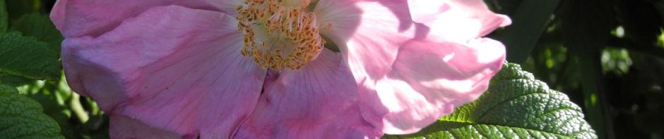 Anklicken um das ganze Bild zu sehen Kartoffel-Rose Blüte Rosa rugosa