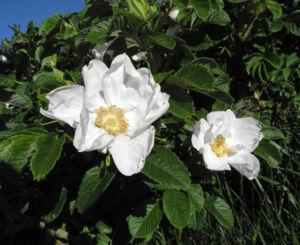 Kartoffel Rose Bluete weiß rosa rugosa 01