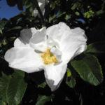Kartoffel Rose Bluete weiß rosa rugosa 02