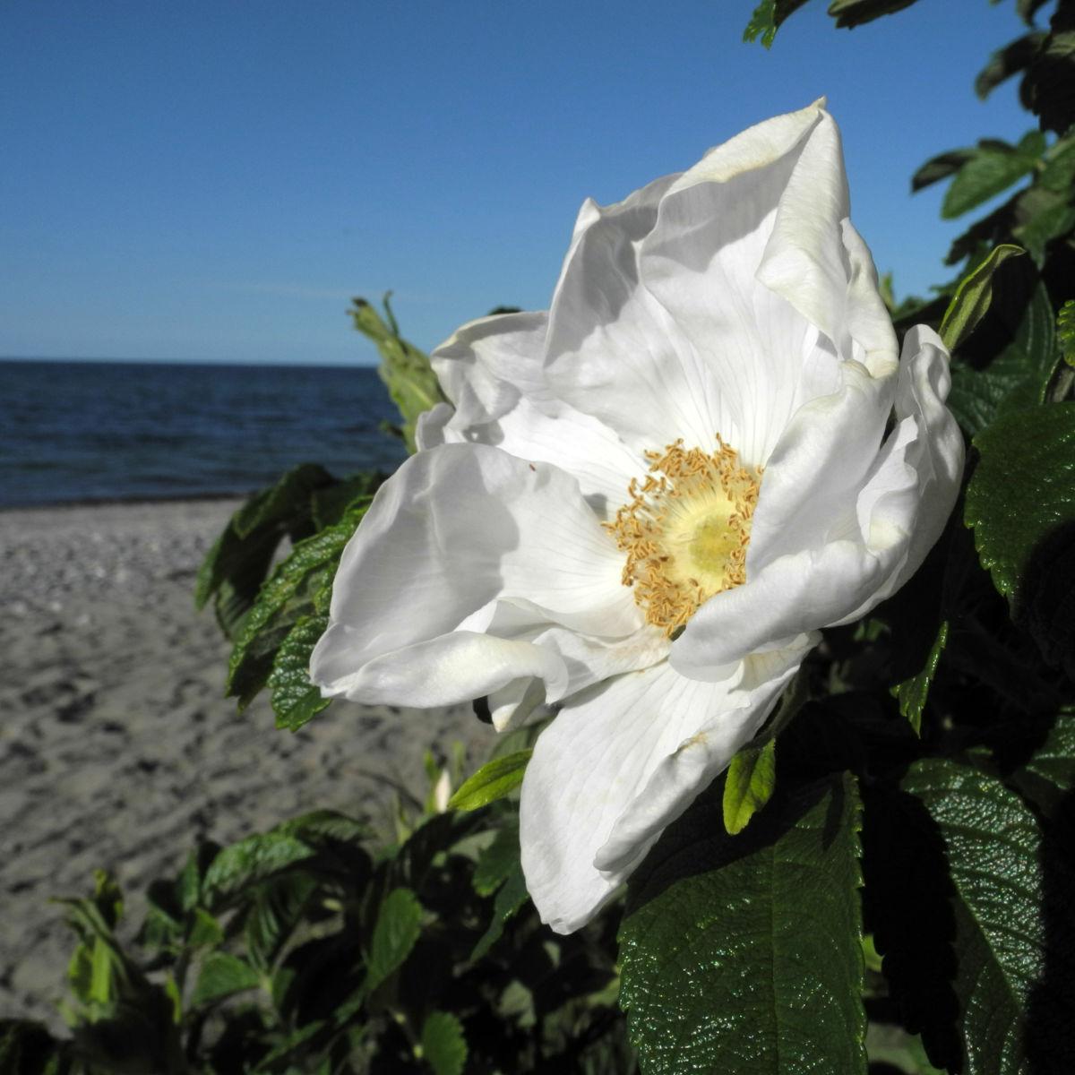 Kartoffel Rose Bluete weiß rosa rugosa