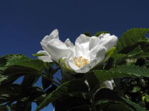 Kartoffel Rose Bluete weiß rosa rugosa 05