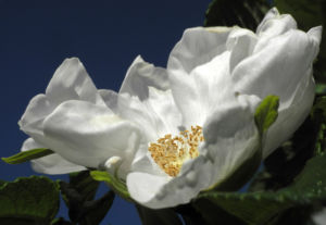 Kartoffel Rose Bluete weiß rosa rugosa 13