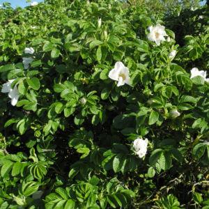 Kartoffel Rose Bluete weiß rosa rugosa 24