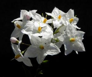 Kartoffelstrauch Bluete weiss Solanum laxum 02