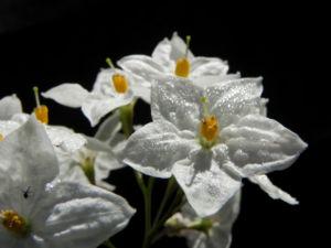 Kartoffelstrauch Bluete weiss Solanum laxum 05