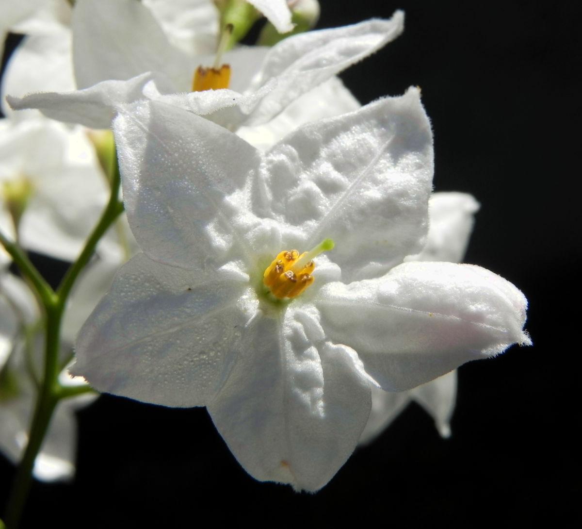 Kartoffelstrauch Bluete weiss Solanum laxum