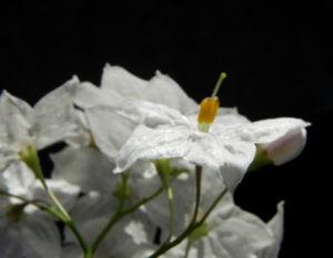 Kartoffelstrauch Bluete weiss Solanum laxum 08