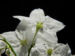 Zurück zum kompletten Bilderset Kartoffelstrauch Blüte weiß Solanum laxum