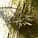 Kaspische Gleditschie Baum Stacheln Blatt Gleditsia caspica 01