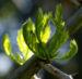 Zurück zum kompletten Bilderset Kaspische Gleditschie Baum Stacheln Blatt Gleditsia caspica