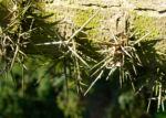 Kaspische Gleditschie Baum Stacheln Blatt Gleditsia caspica 03
